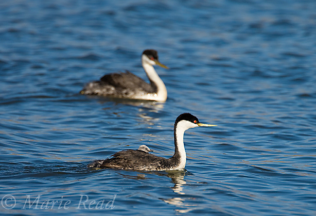 Western Grebes (Aechmophorus occidentalis), adult with young riding on its back, Kern County, California, USA