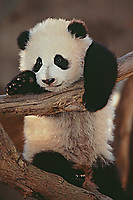 Young Panda.