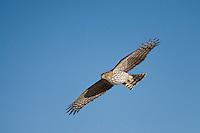 Cooper's Hawk, Bosque del Apache NWR