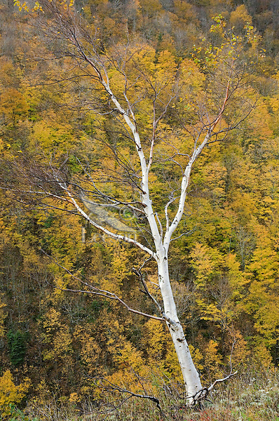 White birch tree (Betula papyrifera) stripped of autumn leaves.  Cape Breton Highlands National Park, Nova Scotia. Canada.  White birch thrives on burned-over and cut-over areas.  The tree has a thin inflammable bark and is easily killed by fire.