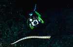 East Indonesia, Raja Ampat,Hydrophis cyanocinctus (also called the blue-banded sea snake) found in abundance at Gunung Api, Indonesia