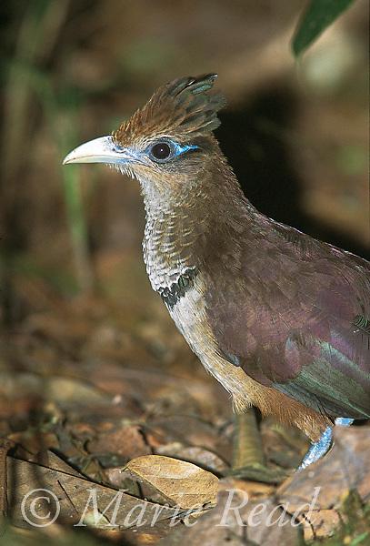Rufous-vented Ground-Cuckoo (Neomorphus geoffroyii), closeup, Soberania National Park, Panama<br /> Slide # B69-201