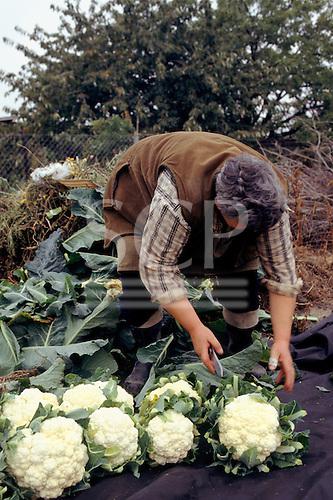 Rural Czech Republic. Woman farmer preparing cauliflowers for market using a paring knife.