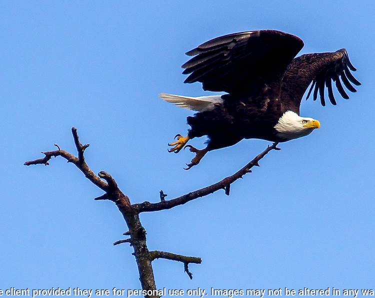 American Bald Eagle takes off from a branch  near Manchester Bay, Manchester, Washington. Jim Bryant Photo. ©2016. All Rights Reserved.