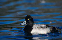 Lesser Scaup, Athya affinis, male, New Braunfels, Texas, USA, March 2001