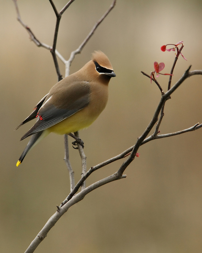 Cedar Waxwing from April, redbud tree perch.<br />