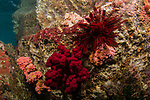 Indonesia, Lembeh, underwater marine life, Red crinoid, red dendronphthya on the rocks
