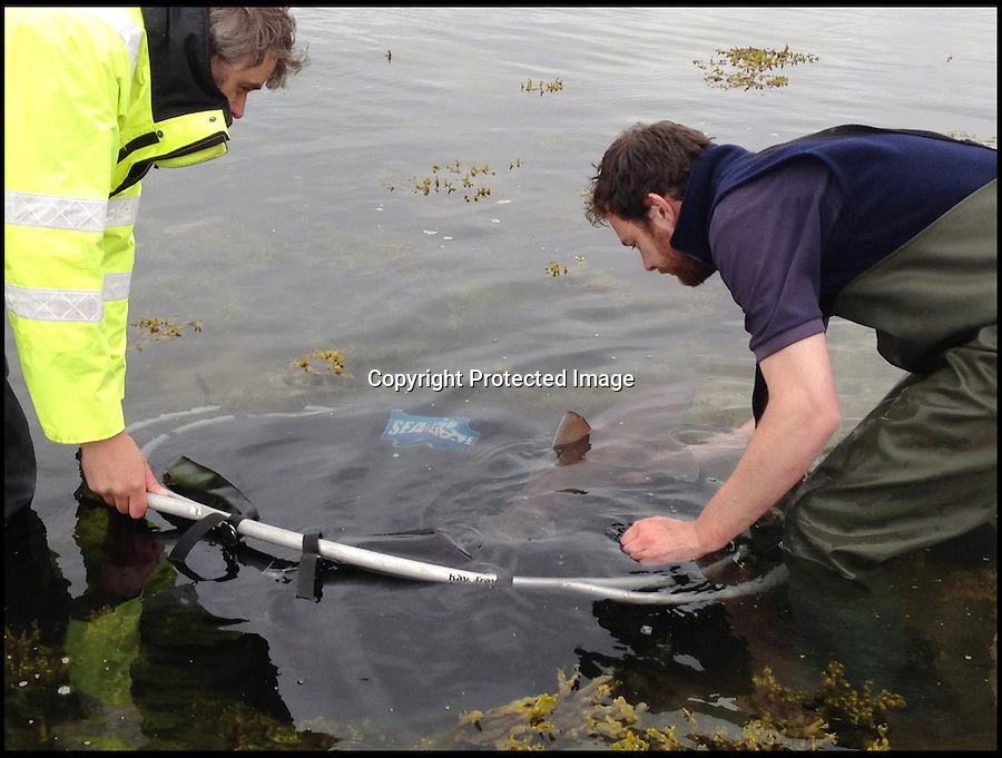 BNPS.co.uk (01202 558833)<br /> Pic: SeaLife/BNPS<br /> <br /> ***Please use full byline***<br /> <br /> This is the alarming moment a shark had to be set free by marine experts after a group of 'Oriental' men were spotted trying to hack off its fin.<br /> <br /> The 3ft 6ins long shark had become trapped in a storm drain used to control flooding and was unable to escape back into the sea.<br /> <br /> Rob Sansom from the coastguard was on duty near Portland in Dorset when he was alerted to two groups of men crowding around the area.<br /> <br /> Upon further inspection he was horrified to see that they were trying to lure the pregnant smooth-hound shark towards them and capture it.<br /> <br /> When he asked what they were doing, they are believed to have openly explained that they only wanted to cut her fin off and were planning on leaving the body.<br /> <br /> Rob asked the group of men to leave and immediately called the nearby SeaLife Park in Weymouth and asked experts to come down to assist.<br /> <br /> Two marine specialists, Jean-Denis Hibitt and Anna Russell, raced to the terrified creature and managed to free her from the enclosed area with a stretcher.<br /> <br /> Luckily the three-year-old shark only suffered minor cuts to her dorsal fin, which are thought to have been from hooks the men were using.<br /> <br /> A spokeswoman from the coastguard said the two men were believed to be from Chinese origin.<br /> <br /> It is believed that the fin of the smooth-hound shark - Mustelus mustelus in Latin - was being sought to make shark fin soup, a popular dish in Chinese cuisine.