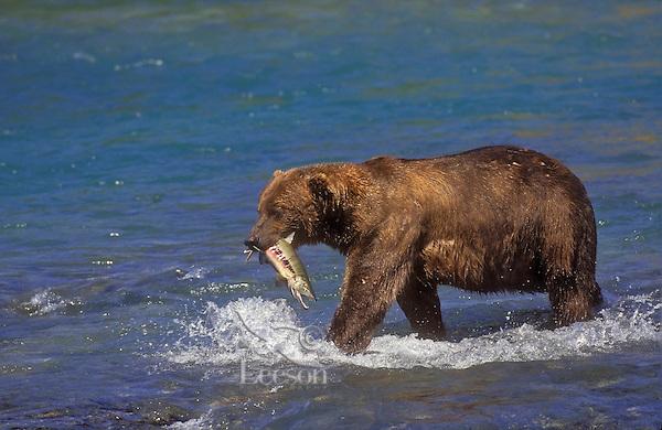 Brown Bear (Ursus arctos middendorffi) carries chum salmon catch to shore to eat, summer, McNeil River, Alaska.