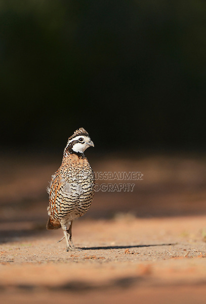 Northern Bobwhite (Colinus virginianus), male, Rio Grande Valley, South Texas, Texas, USA