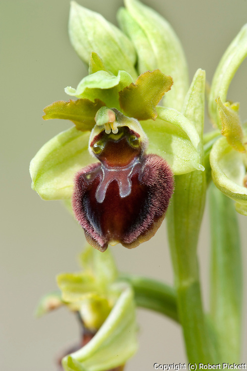 Early spider orchid, Ophrys sphegodes, Samphire Hoe, Kent, UK, protected under the Wildlife and Countryside Act of 1981, threatened