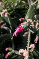 Flowering nopal cactus. Cuatepetitla house with Obie, San Jose de los Laureles, Morelos, Mexico