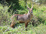 Waterbuck, Lake Nakuru