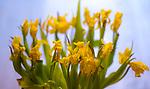 Brussels-Belgium - February 24, 2017 -- Withered yellow tulips -- Photo: © HorstWagner.eu