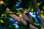 Black-cheeked Woodpecker<br /> (Melanerpes pucherani) female, Mamoni Valley, Panama