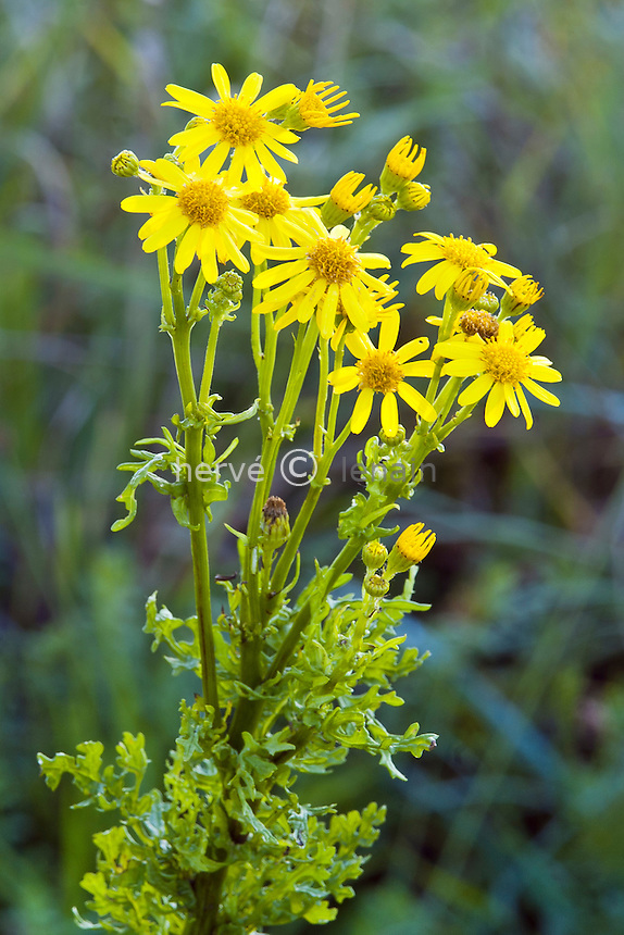 séneçon jacobée (Senecio jacobaea) // Ragwort (Jacobaea vulgaris, syn. Senecio jacobaea)