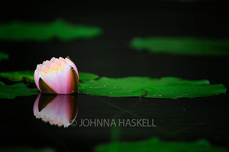 A pink water lily ready to bloom on a small pond in Maine.
