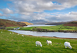 Isle of Skye, Scotland: Sheep grazing on a grassy hillside overlooking Loch Harport