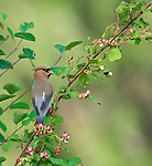 Cedar Waxwing eating serviceberries at the Kootenai National Wildlife Refuge in Idaho