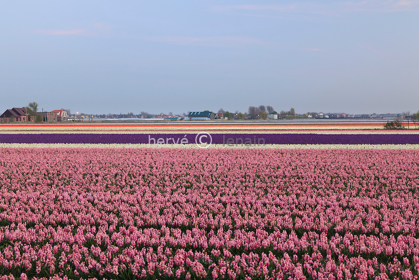 "Hollande, région des Champs de fleurs en avril, Lisse, ici champ de jacinthe en premier plan // Holland, ""Dune and Bulb Region"" in April, Lisse, here, fields of hyacinths in the foreground."