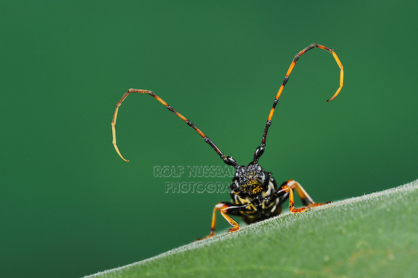Long-jawed Longhorn Beetle (Trachyderes mandibularis), close up, Dinero, Lake Corpus Christi, South Texas, USA
