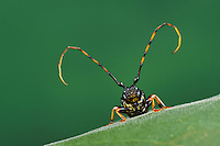 Long-jawed Longhorn Beetle (Trachyderes mandibularis), close up, Dinero, Lake Corpus Christi, South Texas, USA