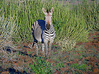 Hartmann's mountain zebra (Equus zebra hartmannae) is a subspecies of the mountain zebra found in far south-western Angola and western Namibia. Hartmann's mountain zebras prefer to live in small groups of 7-12 individuals. They are agile climbers and are able to live in arid conditions and steep mountainous country...