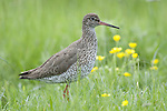 Redshank, Tringa totanus, Elmley Marshes, Kent, UK, in long grass by marsh