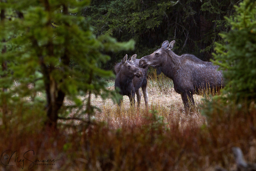 The moose (Alces alces) is the largest surviving species in the deer family. They are larger and heavier than North American elk. However, the very same species is known as an elk in Europe.<br /> Much of a moose's energy is derived from vegetation, mainly consisting of forbs and other non-grasses, and fresh shoots from trees such as willow and birch. These plants are rather low in sodium, and moose generally need to consume a good quantity of aquatic plants. While much lower in energy, these plants provide the moose with its sodium requirements, and as much as half of their diet usually consists of aquatic plant life.