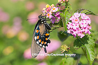 03004-01410 Pipevine Swallowtail butterfly (Battus philenor)  on pink lantana, Marion Co., IL