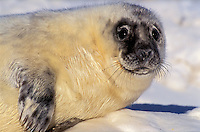 GRAY SEAL - one week-old pup. Pups are fed and protected by the cows for the first two weeks before they are left to fend for themselves on the birthing ice floes or secluded beaches..Northumberland Strait, Nova Scotia..Canada. Halichoerus grypus.