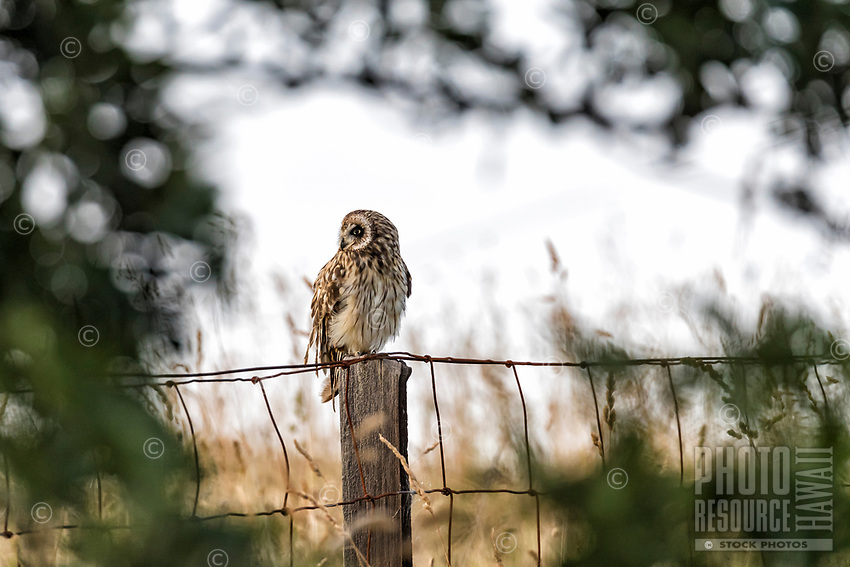 Hawai'i's native short-eared owl, the pueo, as seen through a window of a māmane tree in Kamuela, Big Island.