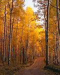 Fall-colored aspen along Last Dollar Road, near Telluride, CO