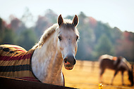 A horse staring over a wooden fence with another horse grazing in the background.