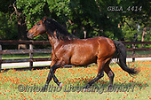 Bob, ANIMALS, REALISTISCHE TIERE, ANIMALES REALISTICOS, horses, photos+++++,GBLA4414,#a#, EVERYDAY