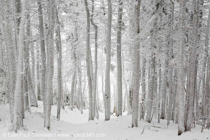 Snow covered softwood forest along the Hancock Loop Trail on the summit of South Hancock Mountain in the White Mountains, New Hampshire during the winter months.