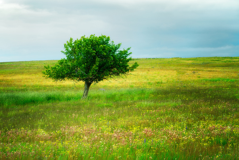 Lone tree and wildflowers. Zumwalt Prairie, Oregon