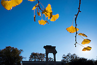 Fall gingko leaves with pillars at the Cobb Institute<br />  (photo by Megan Bean / &copy; Mississippi State University)