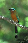Blue Crowned Motmot, Momotus momota, perched in tree, Trinidad.Trinidad....
