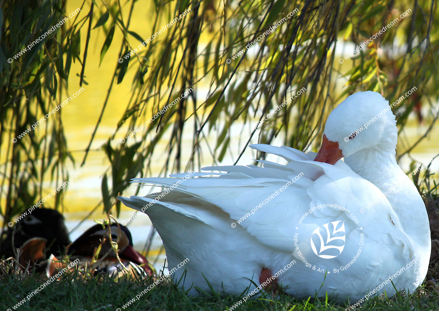 Stock photo of snow goose sitting near a lake in Paphos zoo, Cyprus.<br />