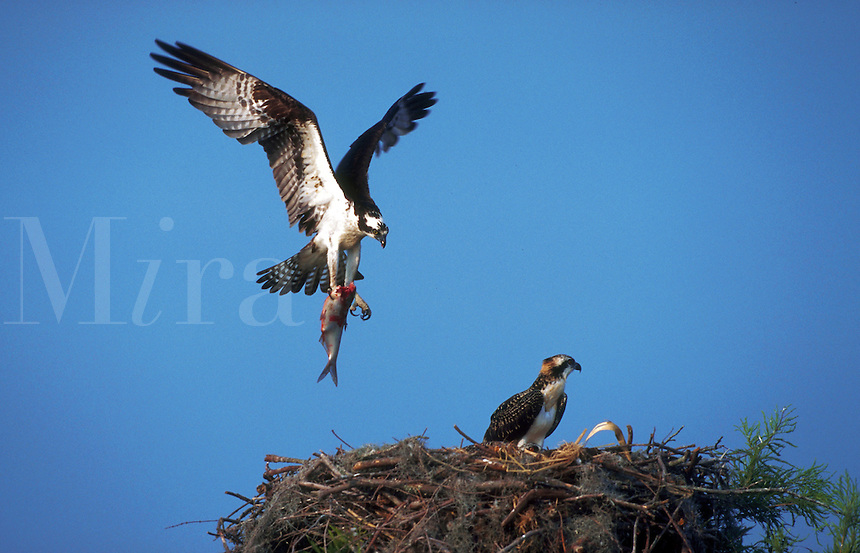 An Osprey in flight as it prepares to drop a fish into its nest.