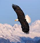 A Bald Eagle (Haliaeetus leucocephalus) turns in front of the snowy peaks.  Kenai Peninsula, Alaska