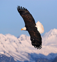 A Bald Eagle (Haliaeetus leucocephalus) turns in front of the snowy peaks.  Kenai Peninsula, Alaska