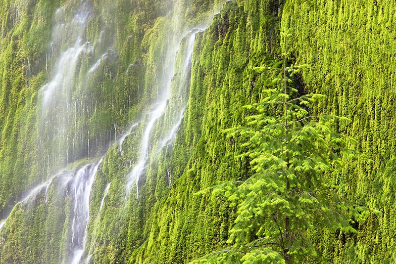 Seasonal waterfall into Tanner Creek with douglas fir tree . Columbia River Gorge National Scenic Area, Oregon