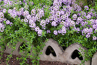Thymus 'Jekka' thyme herb, creeping thyme in bloom