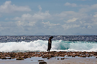 A Marshall Island woman walks carefully along the far edge of the ocean-side reef amidst rolling waves, Jaluit, Marshall Islands.