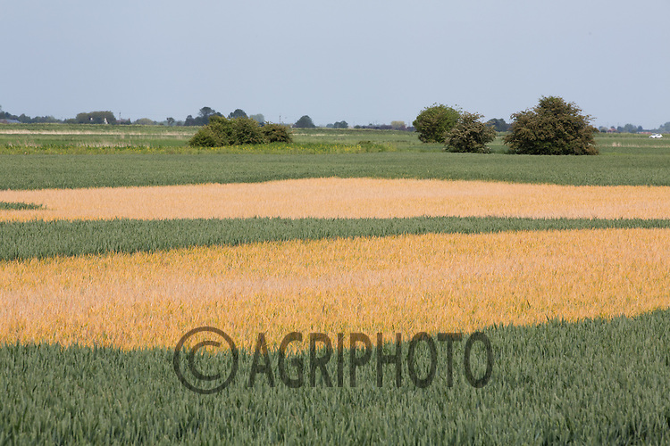 Patches of Black Grass sprayed off in Winter wheat<br /> Picture Tim Scrivener 07850 303986