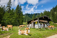 Deutschland, Bayern, Chiemgau, Ruhpolding: Vieh auf der Miasei Alm, bei der Brandner Alm | Germany, Bavaria, Chiemgau, Ruhpolding: cattle at alpine pasture Miasei Alm next to Brandner Alm