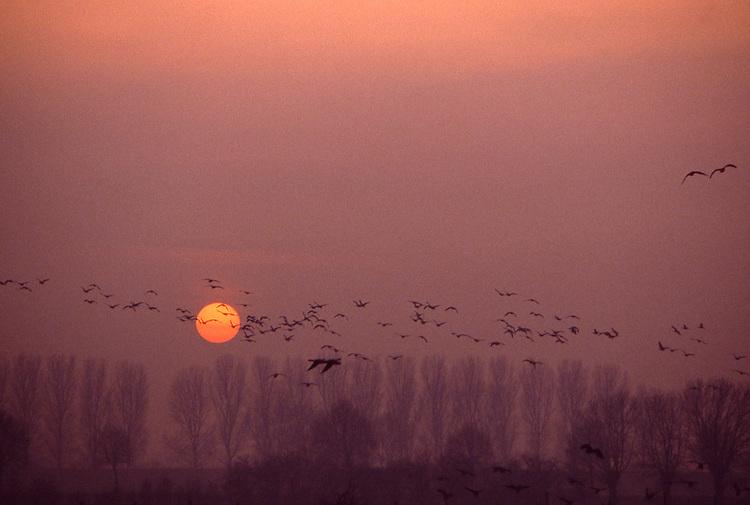 DEU, Deutschland, Nordrhein Westfalen, Niederrhein, bei Voerde-Mehrum, Naturschutzgebiet Momm Niederung, Wildgaense im Winter, Jedes Jahr finden sich rund 150.000 Blaessgaense und 10.000 bis 20.000 Saatgaense aus Sibirien in dem Gebiet zwischen Wesel und dem niederlaendischen Nimwegen zur Ueberwinterung am Niederrhein ein. Im noerdlichsten Sibirien kann schon Mitte August der erste Schnee fallen, dann verschlechtern sich die Lebensbedingungen so sehr, dass die Gaense aufbrechen. Am wintermilden Niederrhein treffen sie auf optimale Voraussetzungen, gemaeßigte Temperaturen, weitlaeufige Wiesen- und Wasserlandschaften und kilometerweit aneinander reichende Weiden locken die Voegel an...[Fuer die Nutzung gelten die jeweils gueltigen Allgemeinen Liefer-und Geschaeftsbedingungen. Nutzung nur gegen Verwendungsmeldung und Nachweis. Download der AGB unter http://www.image-box.com oder werden auf Anfrage zugesendet. Freigabe ist vorher erforderlich. Jede Nutzung des Fotos ist honorarpflichtig gemaess derzeit gueltiger MFM Liste - Kontakt, Uwe Schmid-Fotografie, Duisburg, Tel. (+49).2065.677997, fotofinder@image-box.com, www.image-box.com]