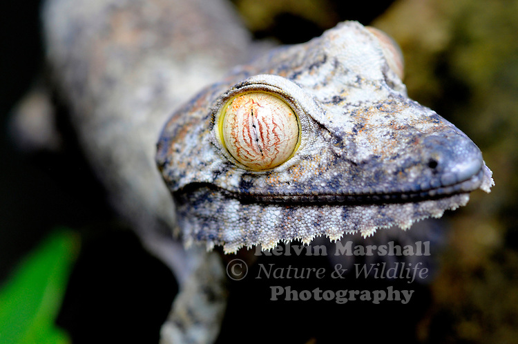 Uroplatus fimbriatus (common name: Leaf-tailed Gecko) is a gecko which is found in eastern Madagascar and on the islands Nosy Bohara and Nosy Mangabe. These geckos live in tropical rain forests. They reach a total length of 330 mm. A large nocturnal gecko, by day it plasters itself to a small tree trunk and rests head down. If disturbed it will raise its tail and head, open its mouth and scream. Peyrieras Reptile Park, Eastern Madagascar.